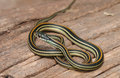 Common Garter Snake Royalty Free Stock Images - 40797469