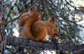 Squirrel And A Nut Stock Image - 4080881