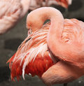 Chilean Flamingo (Phoenicopterus Chilensis) Stock Image - 40806521