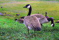 Canadian Goose Walking Geese In Grass Royalty Free Stock Photography - 40807317