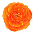 Single Orange Buttercup Royalty Free Stock Photography - 40810057