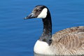 Canadian Goose Royalty Free Stock Photo - 40818505