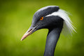 Crane Bird Stock Image - 40827521