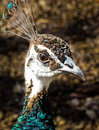 The Wife Of The Peacock In Moscow Zoo Royalty Free Stock Photos - 40831588
