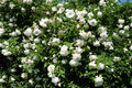 White Roses Royalty Free Stock Photography - 40837917