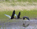 Three White-faced Ibis Birds Flying Across Pond Stock Image - 40838491