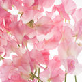 Sweet Pea Flower Background Royalty Free Stock Photo - 40843905