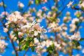 Apple Flowers In Full Blossom During Springtime Royalty Free Stock Images - 40855649