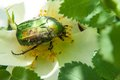 Chafer On A White Spring Flower Dog Rose Royalty Free Stock Photos - 40868058