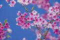 Pink Cherry Blossoms Stock Photo - 40877250