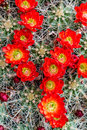 Blooming Barrel Cactus With Red Blooms Royalty Free Stock Image - 40879376