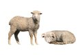 Sheep Isolated Royalty Free Stock Photography - 40890627