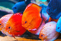 Tropical Fishes Royalty Free Stock Photo - 40893325