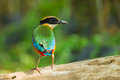 Backside Of Blue-winged Pitta Stock Images - 40918064
