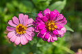 Zinnia Flowers Stock Images - 40934024
