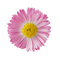 Daisy Royalty Free Stock Photography - 40939137