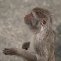 Rhesus Macaque In Close-up During Natural Behavior Stock Images - 40953784