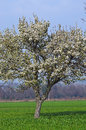 The Lonely Tree White Flowers Blooming Royalty Free Stock Image - 40963496