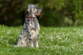Cute Blue Belton English Setter Dog Is Sitting In A Spring Meado Stock Photo - 40977070