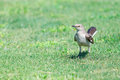 Mockingbird On Grass Royalty Free Stock Photography - 40978227