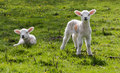Spring Lambs Royalty Free Stock Photo - 41005485