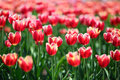 Red Tulips With White Border - Shallow Depth Of Field Stock Image - 41013391