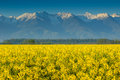 Canola Field And High Snowy Mountains,Fagaras,Carpathians,Romania Stock Photo - 41013790