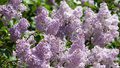 Blooming Lilacs Royalty Free Stock Images - 41033909