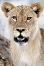 Young Male Lion Stock Image - 41041841