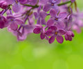 Spring Purple Lilac Flowers On The Green Background Stock Images - 41052464