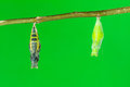 Pupae Of Lime Butterfly (Papilio Demoleus Malayanus) Royalty Free Stock Images - 41056539
