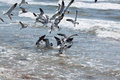 Seagulls Feeding In Shallow Surf Royalty Free Stock Images - 41076389