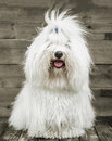 Portrait Of An Original Coton De Tuléar Dog - Pure White Like C Stock Image - 41077471