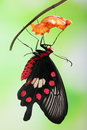 Butterfly Change Form Chrysalis Stock Photos - 41084233