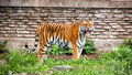 Siberian Tiger With Tongue Out Royalty Free Stock Photography - 41094307
