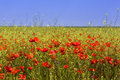Corn Poppy Field Stock Photography - 41112762