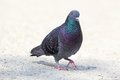 Feral Pigeon Walking On Park Alley Royalty Free Stock Photography - 41114127