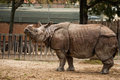 Indian One-horned Rhinoceros Stock Photo - 41118050