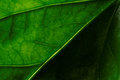 Hibiscus Leave Stock Photography - 41123112