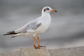 Sea Gull Royalty Free Stock Images - 41159329