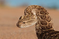 Defensive Puff Adder Stock Photography - 41168462