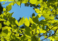 Elm Foliage And Blue Sky Royalty Free Stock Images - 41170309