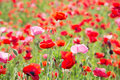 Poppies Royalty Free Stock Images - 41178939