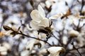 White Flowers Of The Magnolia Tree In Early Spring Stock Images - 41197614