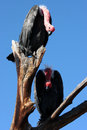 Vultures In A Tree Royalty Free Stock Image - 4126536