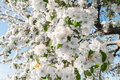 Pear Blossom In Spring Royalty Free Stock Photography - 41213827