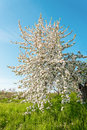 Pear Tree Blossom In Spring Royalty Free Stock Image - 41214166
