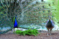 Peacock In Full Plumage Attracting Female Stock Photo - 41218390