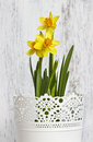 Daffodils In The White Bucket Royalty Free Stock Photography - 41227157