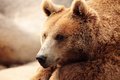 The Face Of A Bear Royalty Free Stock Images - 41233359